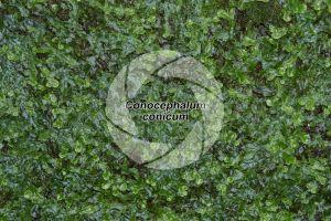 Conocephalum conicum. Great scented liverwort