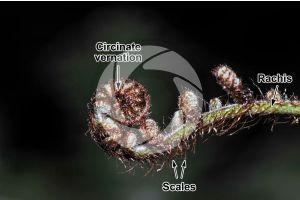 Ferns. Circinate vernation