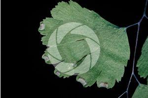 Adiantum capillus-veneris. Maidenhair fern. Leaf