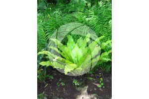Asplenium nidus. Nest fern. Leaf