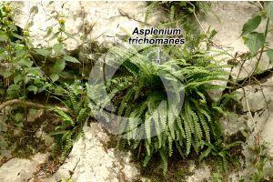Asplenium trichomanes. Asplenio