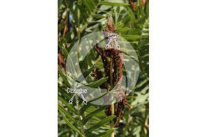 Osmunda regalis. Royal fern. Trophosporophyll