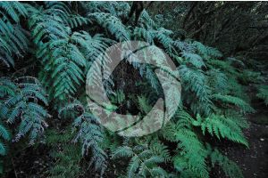 Woodwardia radicans. Chain fern. Leaf