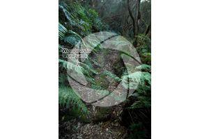Woodwardia radicans. Felce bulbifera. Foglia