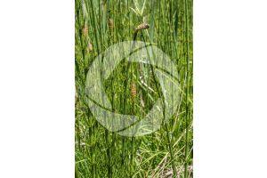 Equisetum fluviatile. Water horsetail. Fertile stem