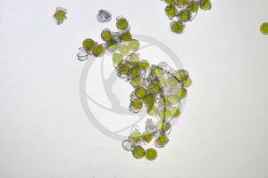 Equisetum telmateja. Great horsetail. Spores. 125X