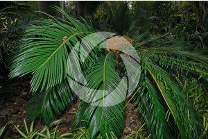 Cycas revoluta. Sago palm. Female plant