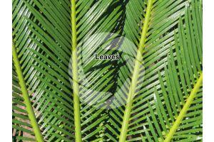 Cycas revoluta. Sago palm. Leaves