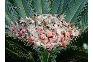 Cycas revoluta. Sago palm. Female plant. Female cone
