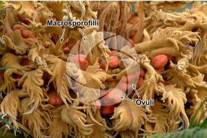 Cycas revoluta. Pianta femminile. Cono femminile