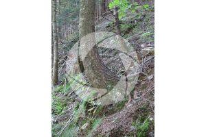 Abies alba. European silver fir. Stem