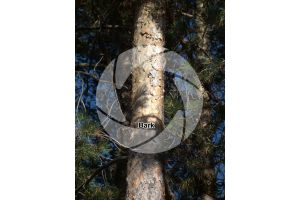 Pinus peuce. Macedonian pine. Stem