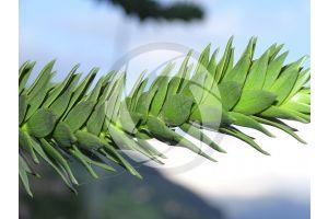 Araucaria araucana. Chilean pine. Leaf