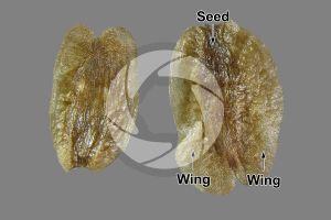 Thuja occidentalis. Northern white-cedar. Seed. 8X