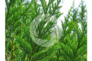 Thuja plicata. Giant cedar. Leaf. Lower surface