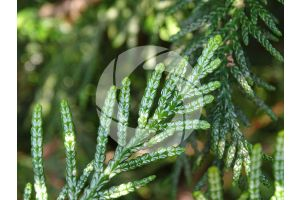 Thuja plicata. Giant cedar. Leaf. Lower surface