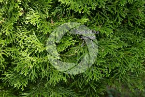 Thuja plicata. Giant cedar. Leaf. Upper surface