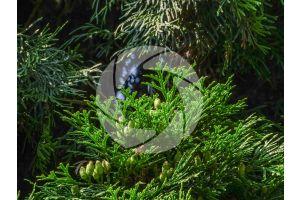 Thuja plicata. Giant cedar. Strobilus