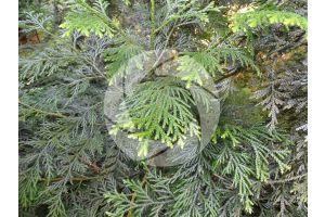Thujopsis dolabrata. Hiba. Leaf. Upper surface