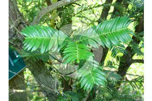 Cephalotaxus harringtonia. Korean plum yew. Leaf. Upper surface