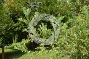 Cephalotaxus harringtonia. Korean plum yew. Leaf. Lower surface