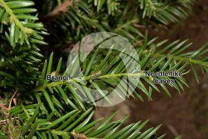 Taxus baccata. European yew. Leaf