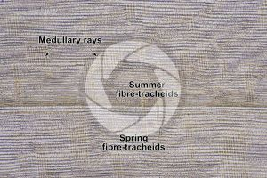 Taxus baccata. European yew. Stem. Radial longitudinal section. 64X
