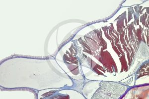 Branchiostoma. Lancet. Skin and epidermis. Transverse section. 100X