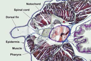 Branchiostoma. Lancet. Spinal cord and notochord. Transverse section. 64X