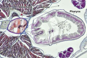 Branchiostoma. Lancet. Pharynx. Transverse section. 64X