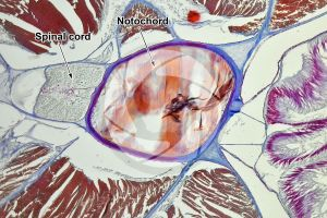Branchiostoma. Lancet. Spinal cord and notochord. Transverse section. 100X