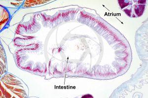 Branchiostoma. Lancet. Intestine. Transverse section. 100X