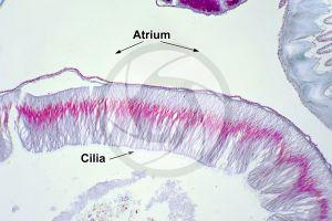 Branchiostoma. Lancet. Intestine. Transverse section. 250X