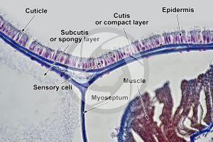 Branchiostoma. Lancet. Skin and epidermis. Transverse section. 500X