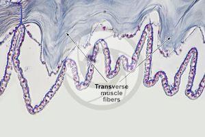 Branchiostoma. Lancet. Transverse muscle fiber. Transverse section. 500X
