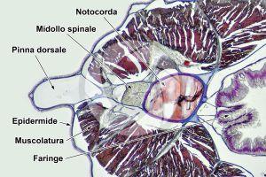 Branchiostoma. Anfiosso. Midollo spinale e notocorda. Sezione trasversale. 64X