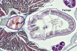 Branchiostoma. Anfiosso. Faringe. Sezione trasversale. 64X