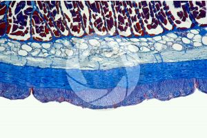 Petromyzon. Lamprey. Skin and epidermis. Transverse section. 100X