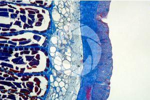 Petromyzon. Lamprey. Skin and epidermis. Transverse section. 100X