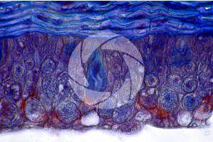 Petromyzon. Lamprey. Skin and epidermis. Transverse section. 500X