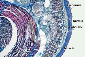 Petromyzon. Lamprey. Skin and epidermis. Transverse section. 32X