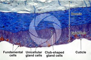 Petromyzon. Lamprey. Skin and epidermis. Transverse section. 250X