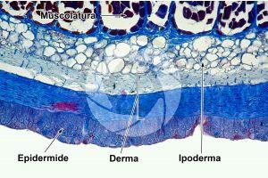 Petromyzon. Lampreda. Cute e epidermide. Sezione trasversale. 100X