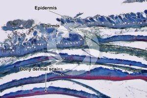 Cyprinus. Skin and epidermis. Vertical section. 64X