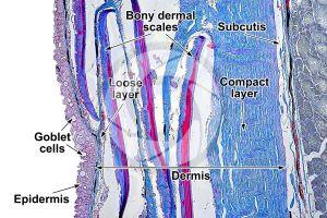 Cyprinus. Common carpa. Skin and epidermis. 100X