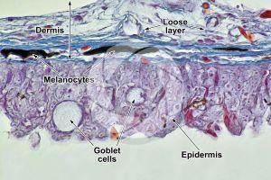 Cyprinus. Common carpa. Skin and epidermis. 500X