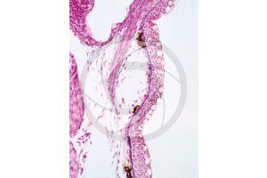 Freshwater fish. Skin and epidermis. 100X