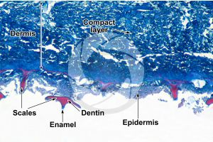 Scyliorhinus. Scyllium. Dogfish. Skin and epidermis. Vertical section. 32X