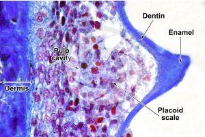 Scyliorhinus. Scyllium. Dogfish. Skin and epidermis. Vertical section. 500X