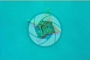Scyliorhinus. Scyllium. Dogfish. Placoid scale